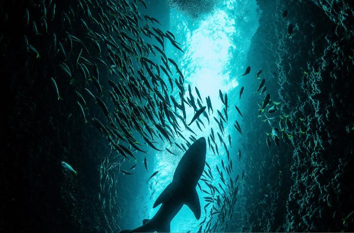 grey nurse shark in sea cave from below
