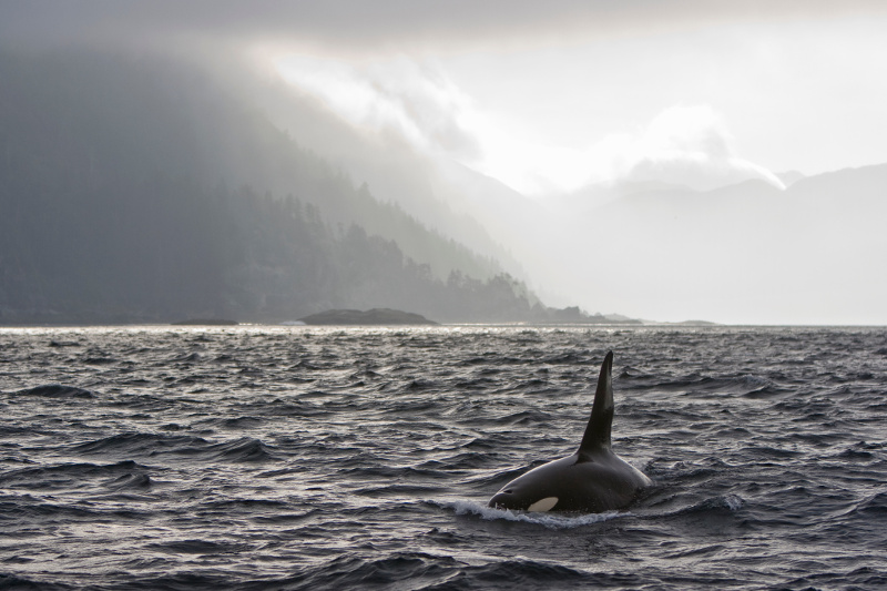 Orca off Haida Gwaii archipelago, British Columbia, Canada