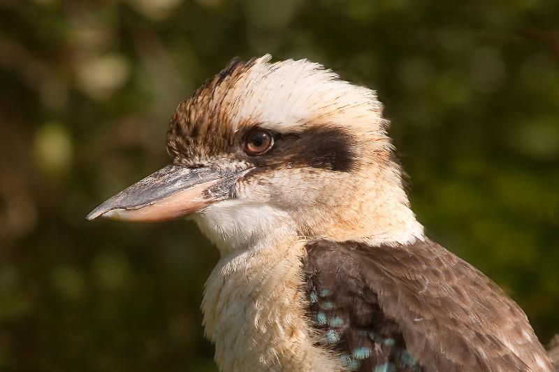 Close up of a Kookaburra