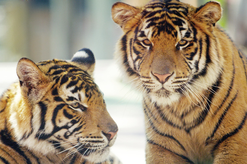 Two tigers from Tiger Club Kindy at Dreamworld.