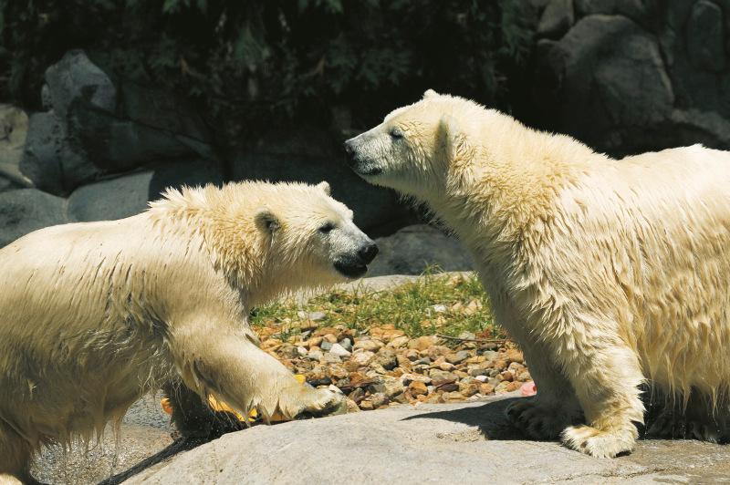 Twin polar bear cubs frolic in the sun at Seaworld on the Gold Coast.