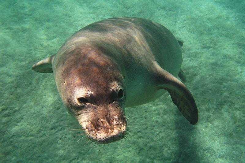 A Hawaiian monk seal underwater