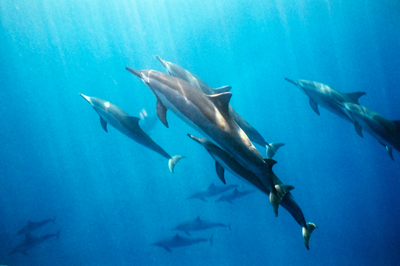 A pod of spinner dolphins off Hawaii's Big Island