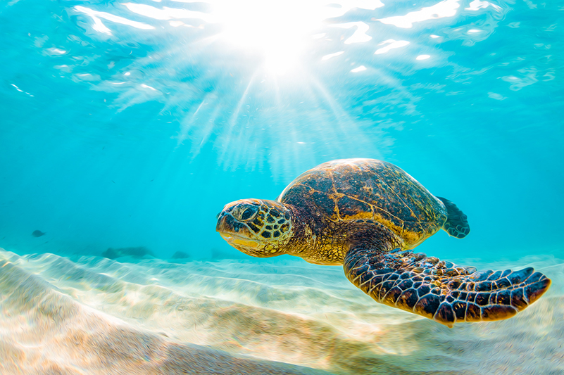 A Hawaiian sea turtle swimming in the water