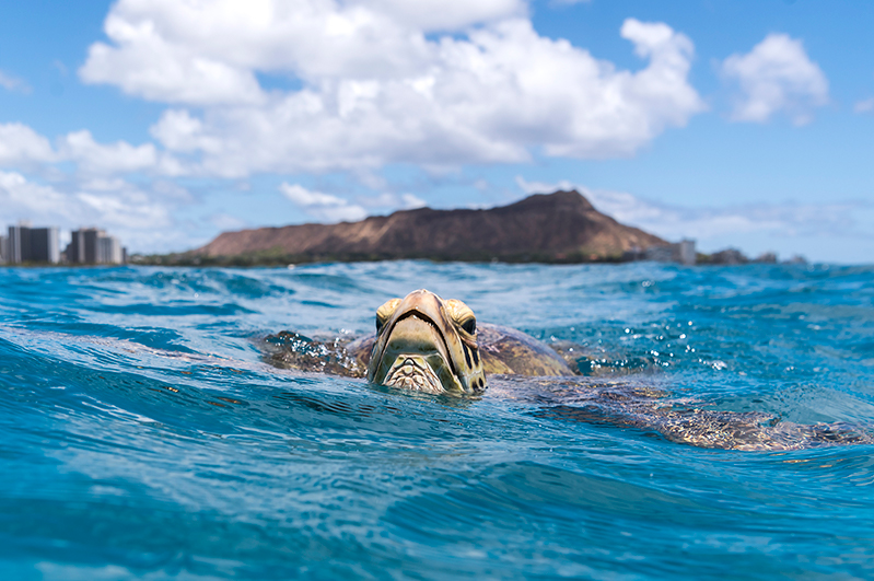 A Hawaiian green sea turtle at Waikiki Beach, Oahu