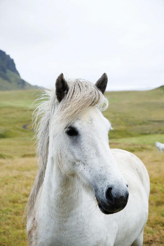 white icelandic horse