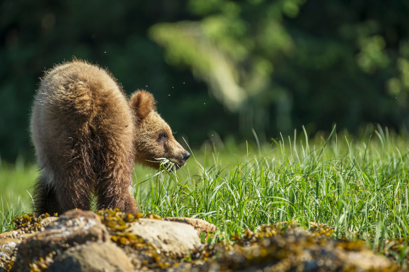 A young grizzly bear just outside Prince Rupert. Image: Getty