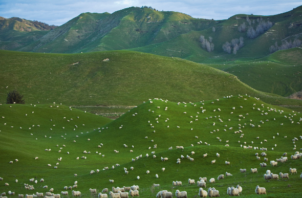 Sheep dot a New Zealand hillside.