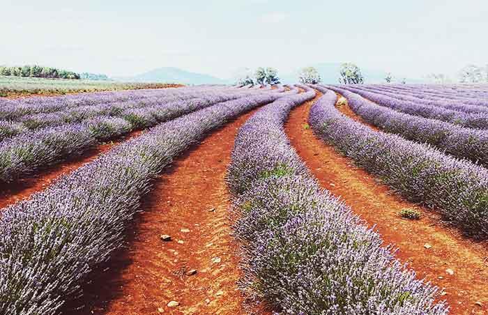 Launceston's lavender fields, Tasmania