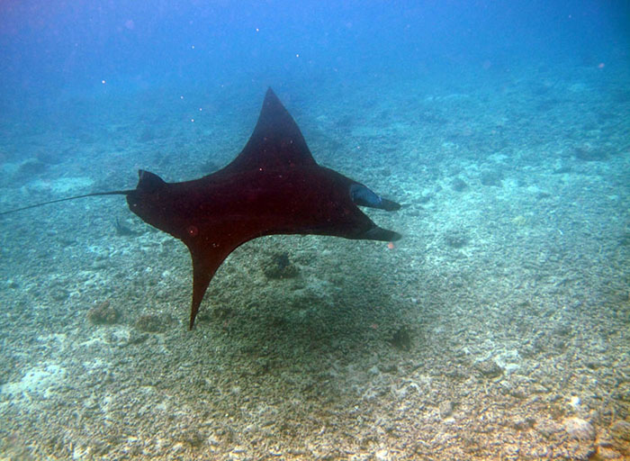 snorkelling with manta rays in fiji