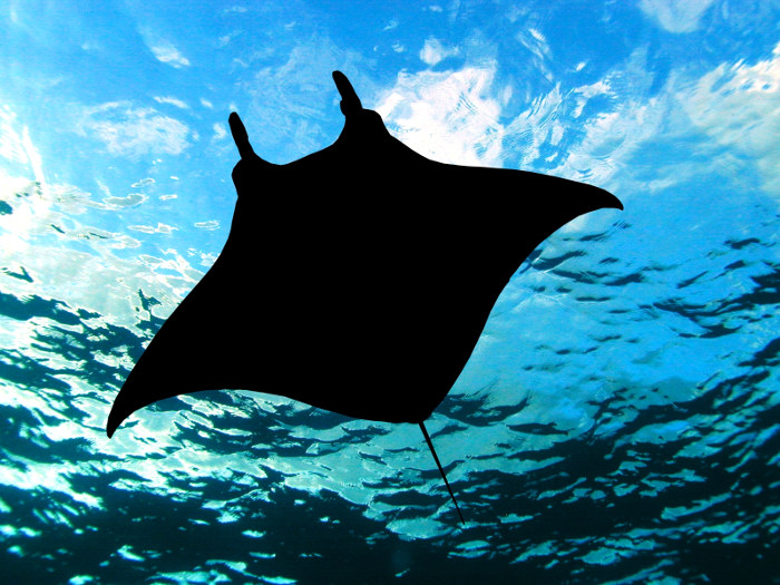 manta ray silhouette from below