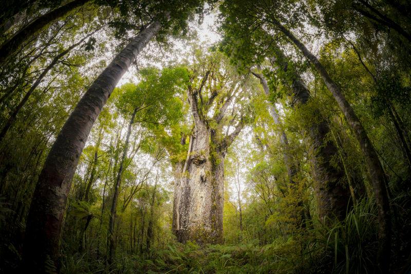 The 2,500 to 3,000-year-old kauri tree Te Matua Ngahere in New Zealand's Waipou Forest.