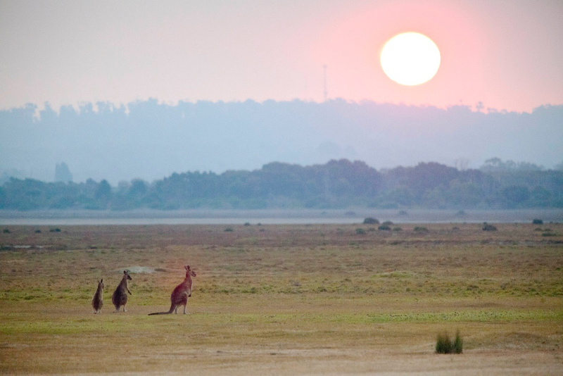 Forester kangaroos on the Rubicon River floodplains.