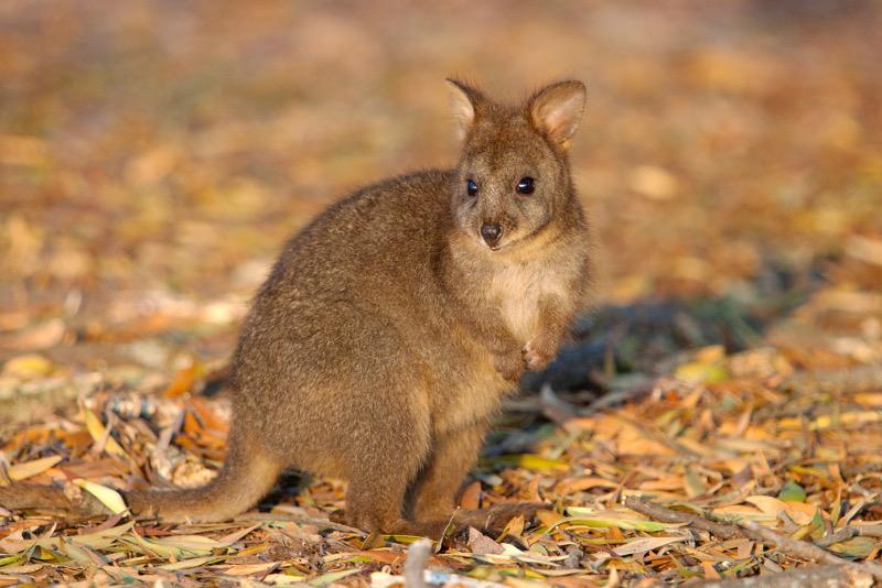 A juvenile pademelon, Tasmania