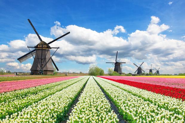 Tulip fields in bloom in the Netherlands