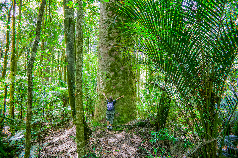 person hugging huge moss covered tree in Northland forest