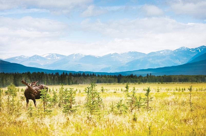 A moose in Kluane National Park, Yukon