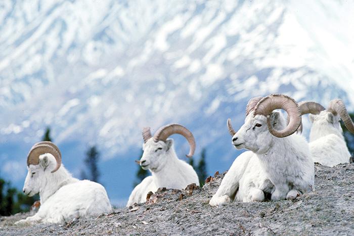 bighorn sheep canada