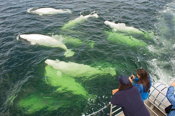 beluga whales churchill manitoba canada