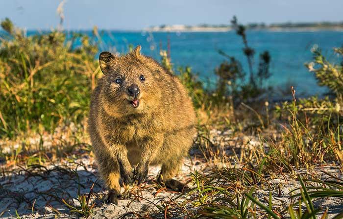 WA's Rottnest Island: home of the quokka!