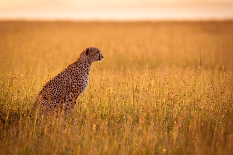 A cheetah stares across grasslands.