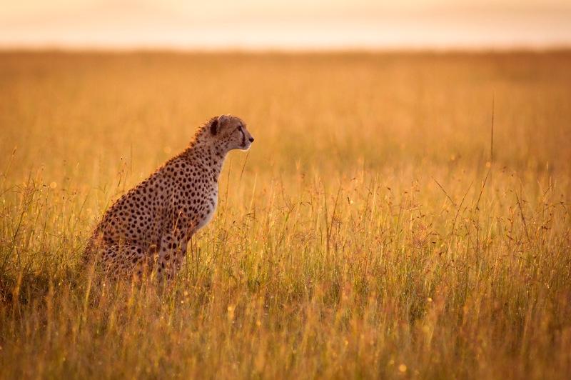 A cheetah stares across grasslands.