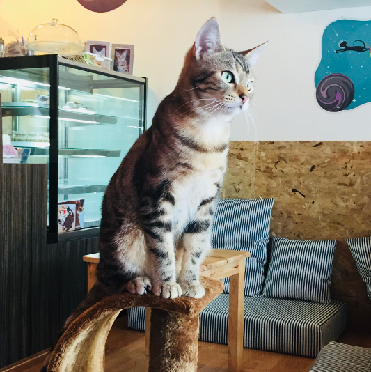 Cat at Catmosphere Cat Cafe
