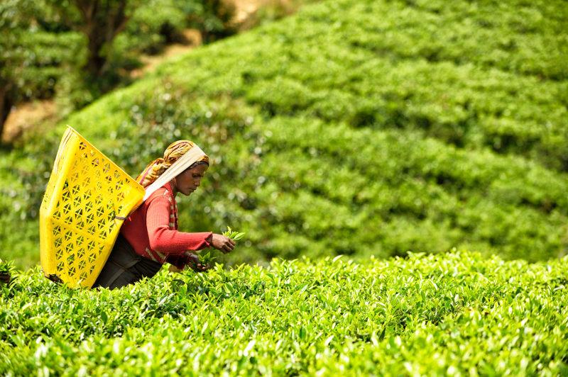 woman picking tea in sri lanka