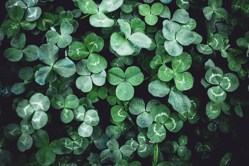 irish shamrock plant