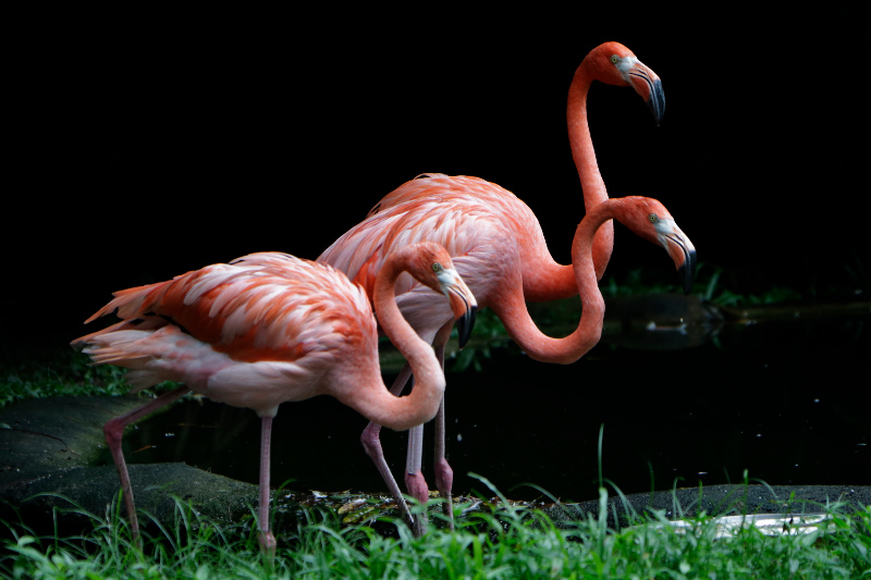 flamingos in singapore
