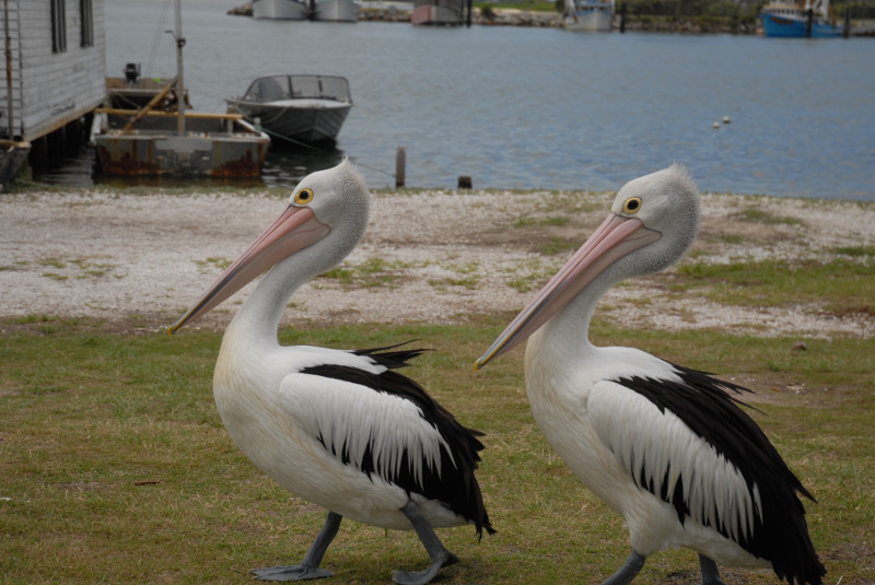 pelicans in iluka, new south wales