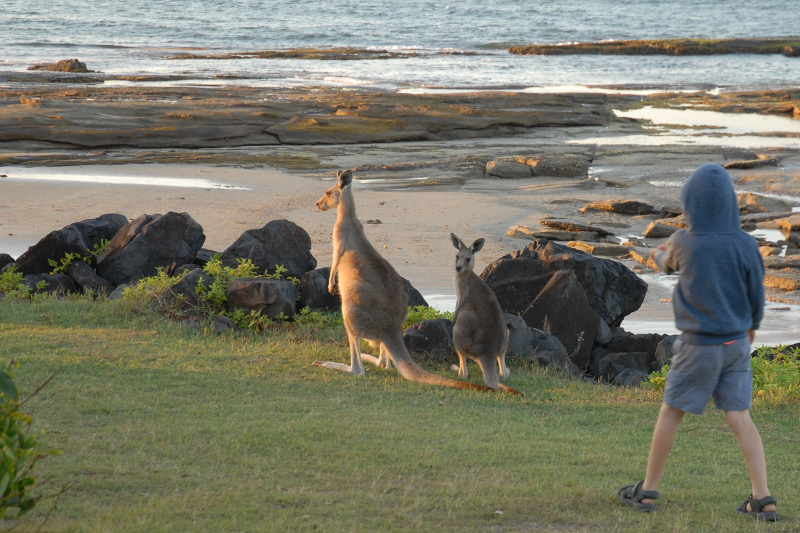 Wallabies at Woody Head, new south wales