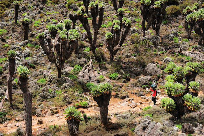 Kilimanjaro is so large that you climb through five distinct ecosystems.