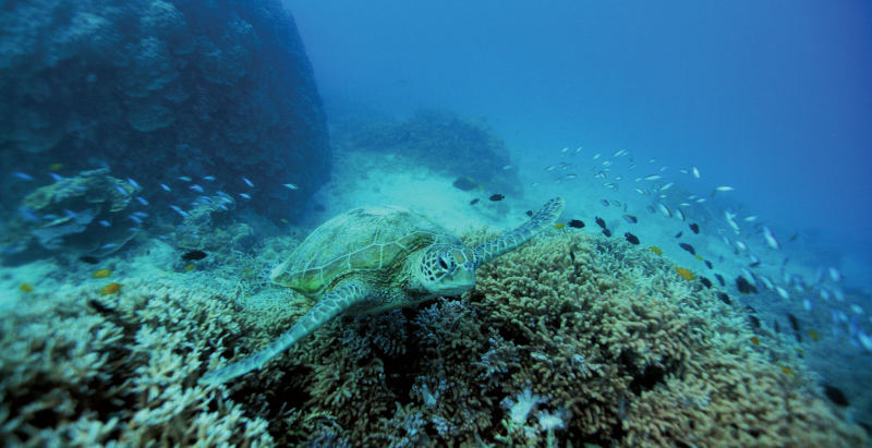 A turtle swims above the reef