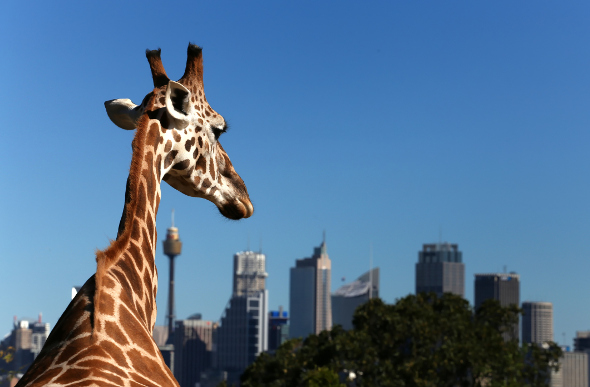 A giraffe at Taronga Zoo stands out against the Sydney skyline.