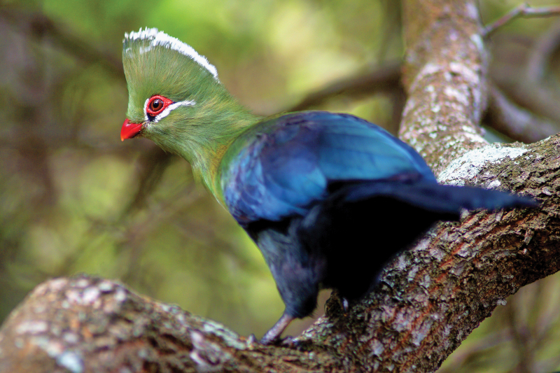 A Knysna Turaco on a branch. The bird has a blue body and a green neck and head. It has a red beak and a red eye