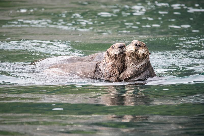 Sea otters in Juneau, Alaska