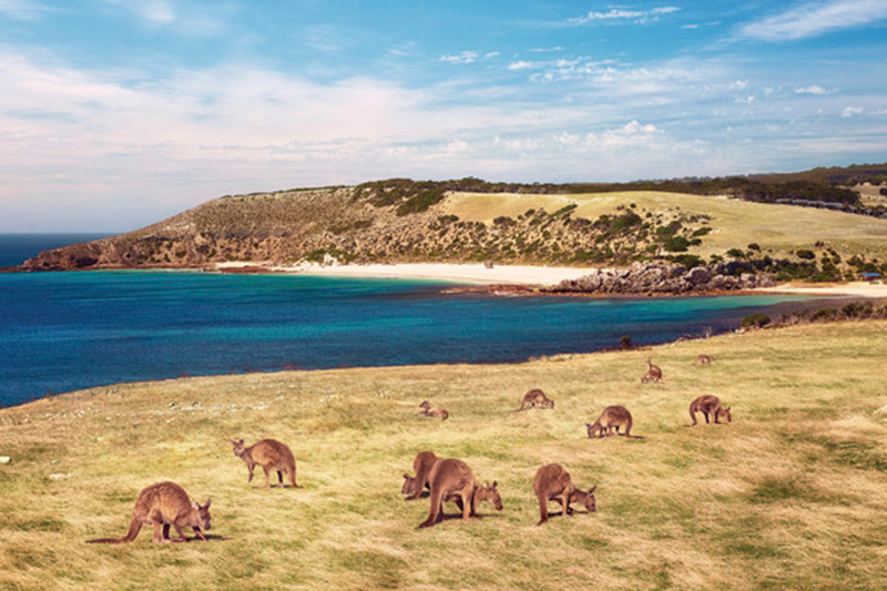 Kangaroos at Stokes Bay, Kangaroo Island, South Australia