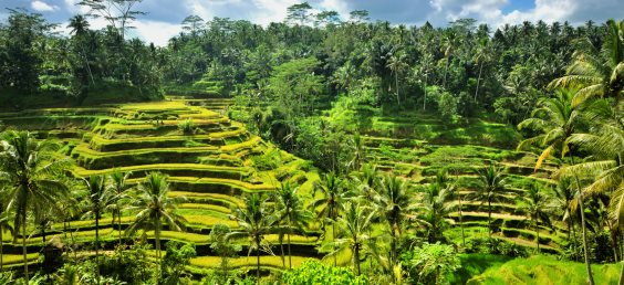 Rice terrace in Ubud, Bali