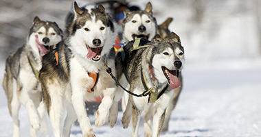 Go Sledding With the Huskies