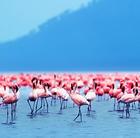 Flamingos, Nakuru Lake