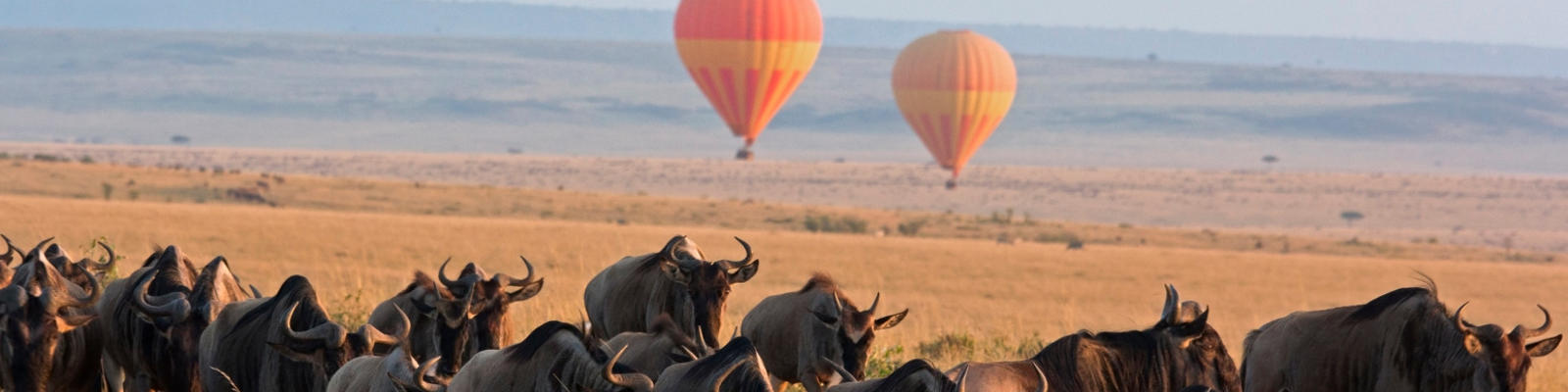 A herd of wildebeest walking across the desert with hot air balloons in the background