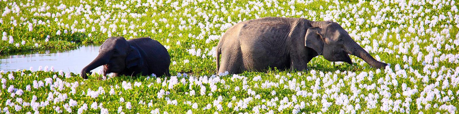 elephants on safari in sri lanka