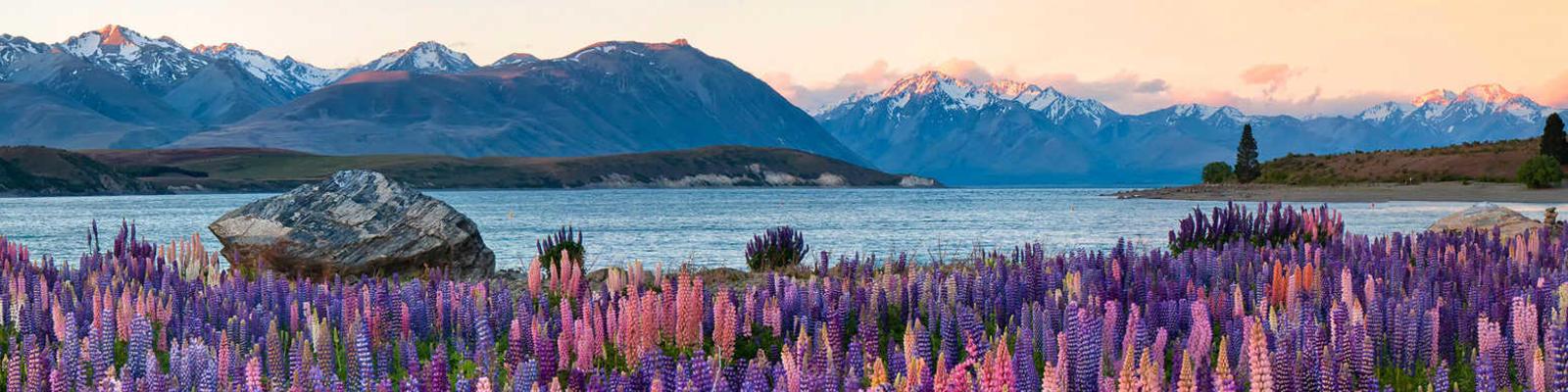 Lupins by Lake Tekapo, New Zealand.