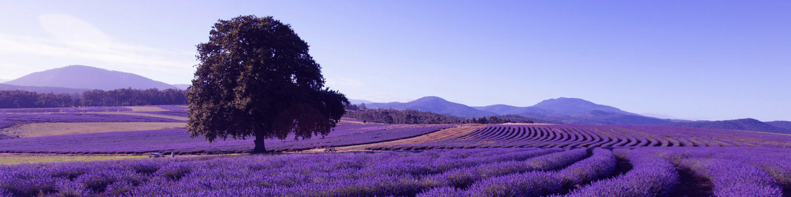 A view of the lavender fields in Tasmania with the flowers in full bloom
