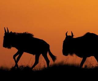 Two wildebeest silhouetted against an orange sky on the Serengeti, Africa.