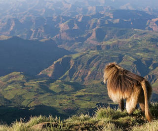 A baboon surveys the folded landscape of Ethiopia's Simien Mountains National Park.