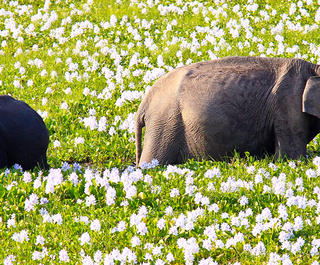 elephants on safari in sri lanka