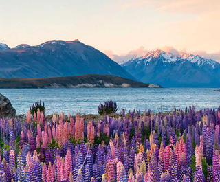 Lupins by Lake Tekapo, New Zealand.