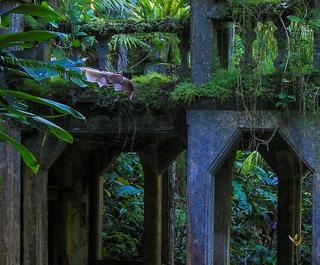 Overgrown ruins in rainforest setting of Paronella Park, Queensand.